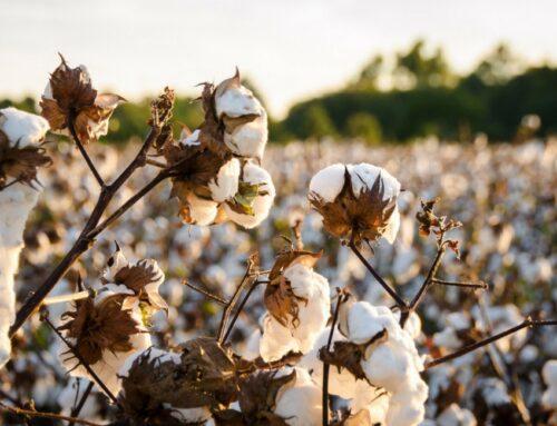 Dal pettinato al jersey: i principali tipi di cotone utilizzati nelle t-shirt